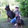 Boseronai - šeimos šunys, vaikų draugai