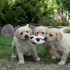 Mazieji labradoriukai